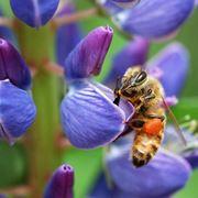 ape su fiore di lupino