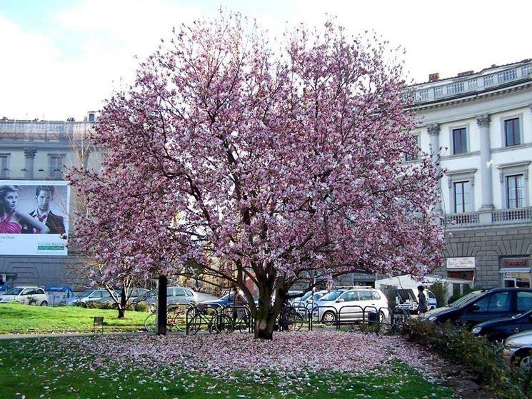 Un albero di magnolia liliflora