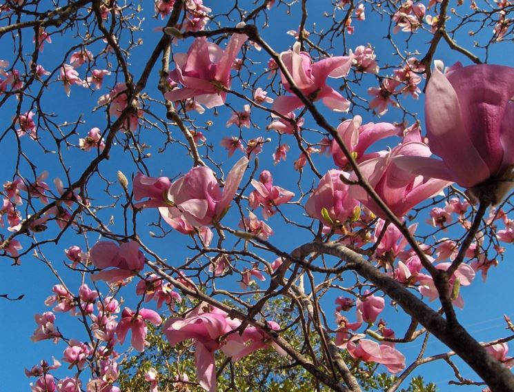 Rami di magnolia liliflora