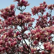 Un esemplare di magnolia obovata fiorita