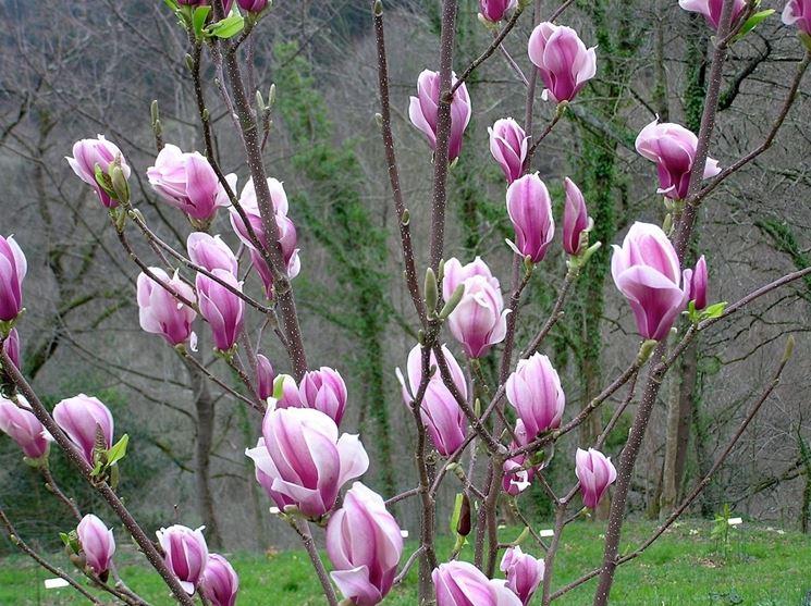 Magnolia obovata piante da giardino magnolia obovata for Magnolia pianta prezzi