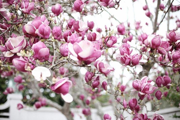 Fiori di Magnolia soulangeana