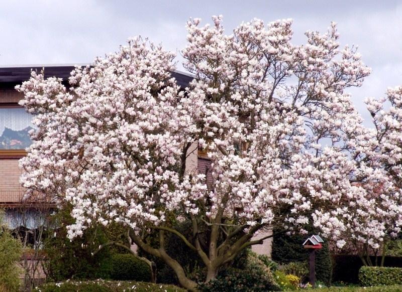 Magnolia soulangeana piante da giardino magnolia for Pianta pistacchio prezzo