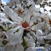 Magnolia stellata fioritura