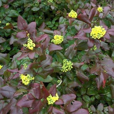 Pianta di Mahonia aquifolium Apollo
