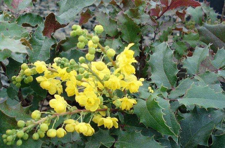 Foglie e fiori di Mahonia aquifolium