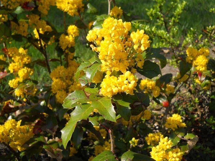 Infiorescenze della pianta di Mahonia aquifolium