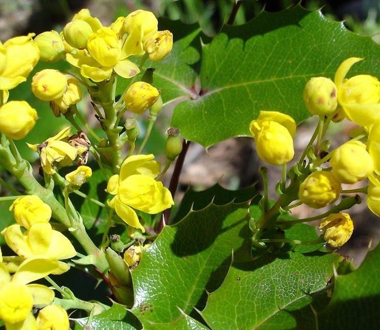 Foglie e fiori di Mahonia