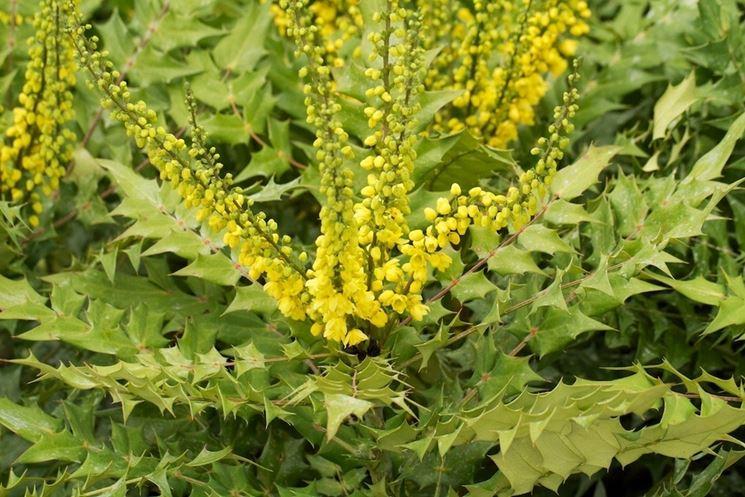 Arbusto in fiore di Mahonia