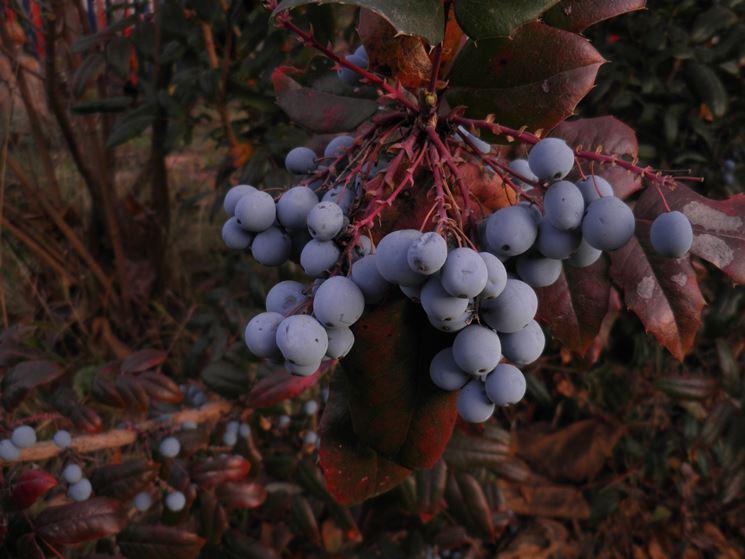 Frutti della pianta di Mahonia