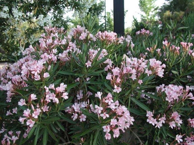 Pianta dell'oleandro in fiore