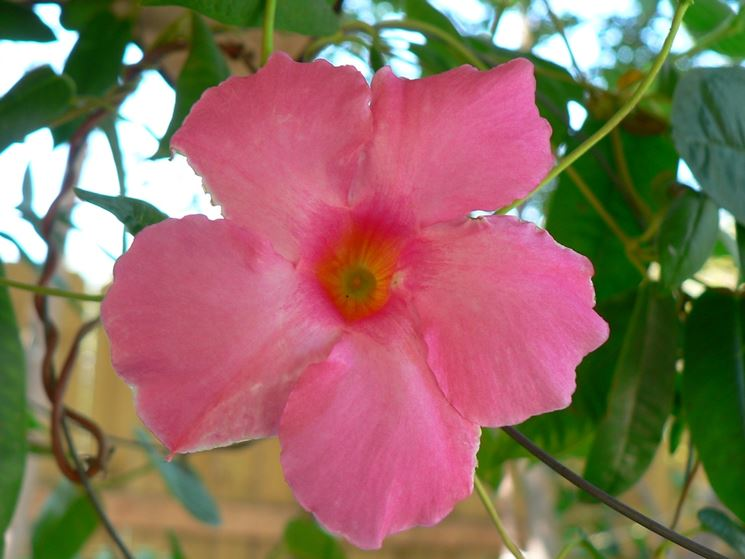 dipladenia - piante appartamento - dipladenia pianta - Fiori Cascanti Crescita Veloce