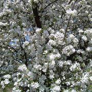 Chioma di melo da fiore