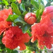 I bellissimi fiori del melograno