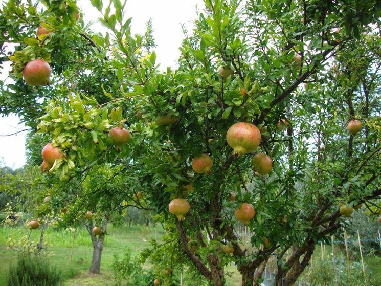 Un albero di melograno con i frutti