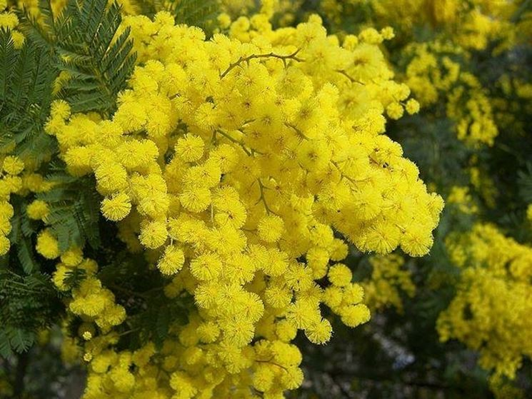 Fiori di Acacia Dealbata