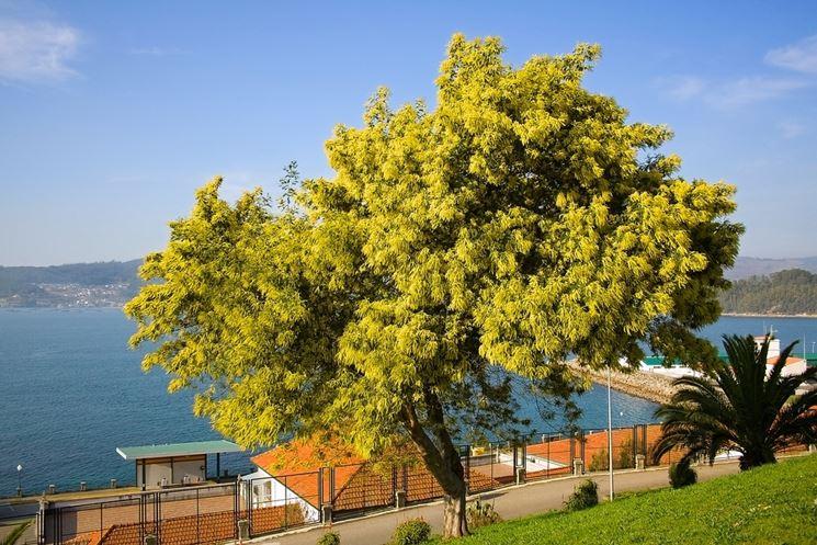 Una pianta di mimosa