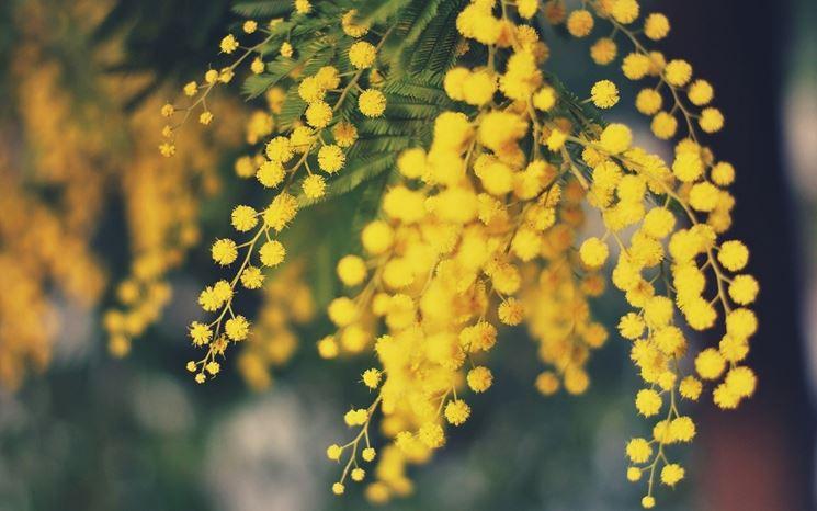 fiori di mimosa