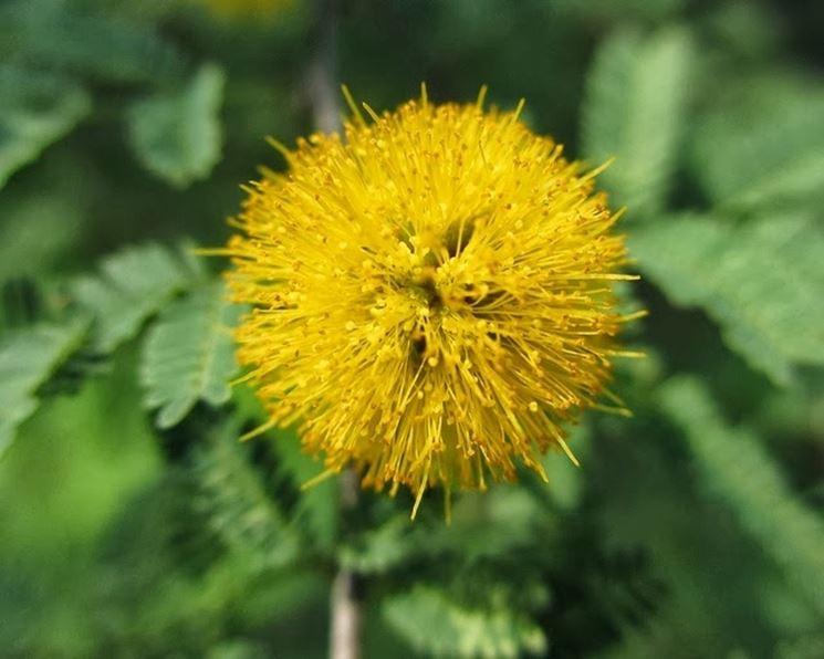Un particolare dei fiori di mimosa