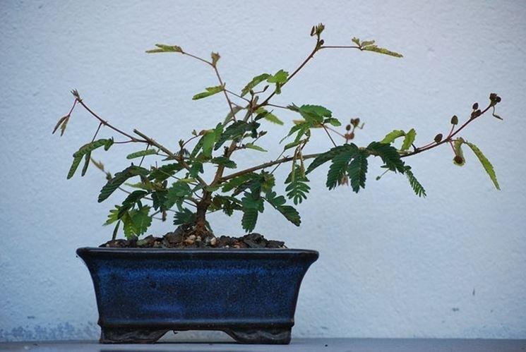 Un bonsai di mimosa sensitiva
