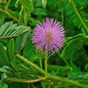 Fiori e foglie di Mimosa pudica