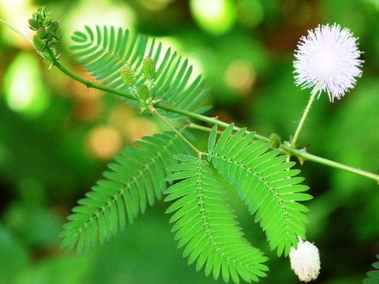 Foglie e fiori di Mimosa pudica