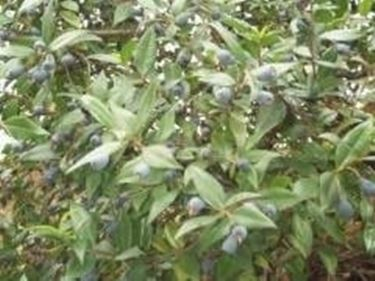 Mirto pianta piante da giardino mirto - Piante aromatiche da giardino ...