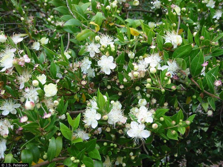 Pianta di mirto sardo multa murta myrtus comunis sardegna - Nomi di piante da giardino ...