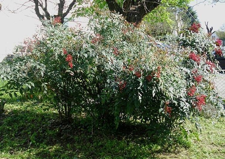 Un esemplare di pianta nandina