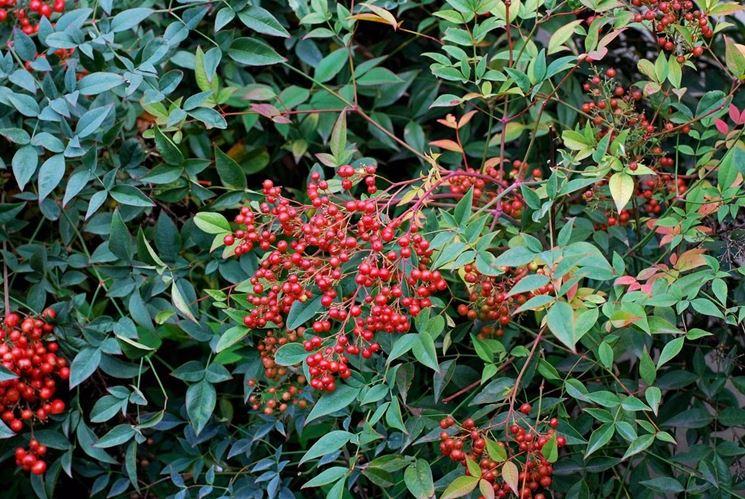 nandina pianta piante da giardino caratteristiche
