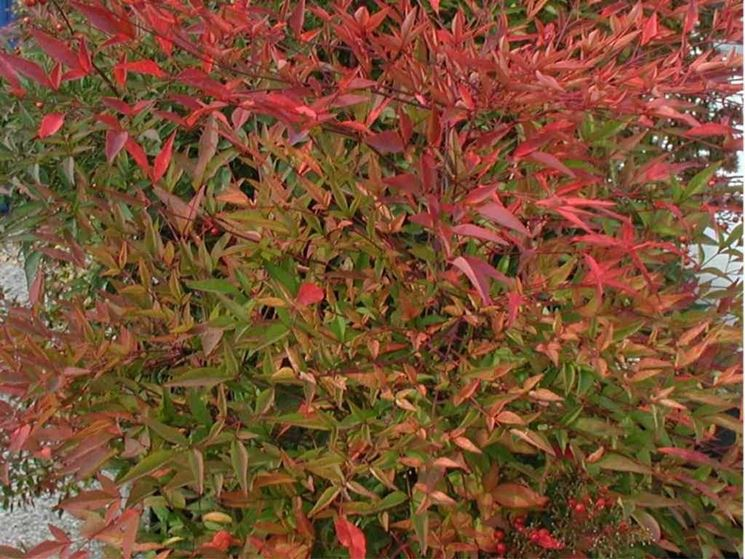 Una pianta nandina dal fogliame rossastro