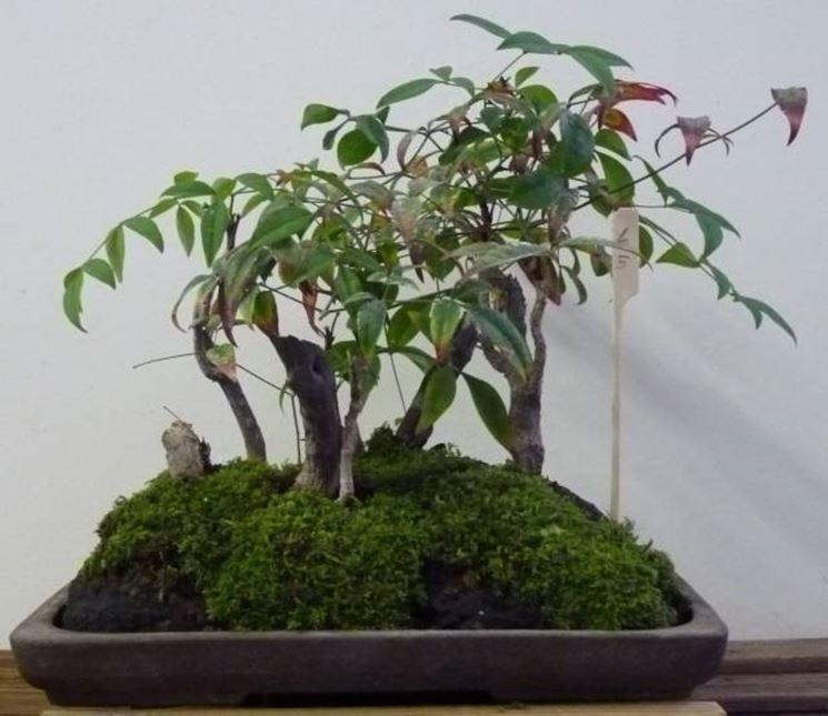 Un esempio di bonsai di pianta nandina
