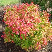 Un esemplare di nandina domestica fire power