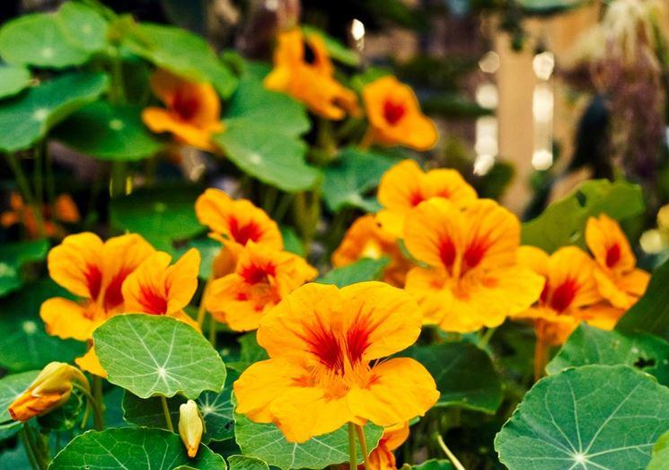 Nasturzio fiori