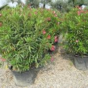 Giovani oleandri coltivati in vaso e pronti per la vendita