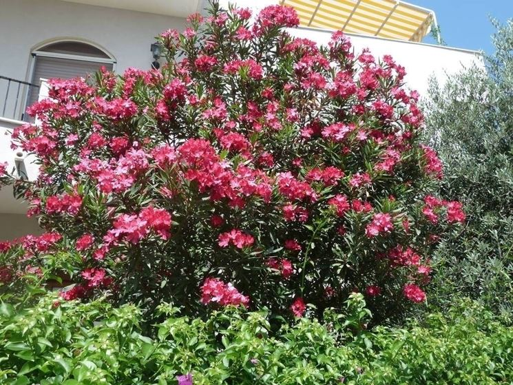 Una grande <em>pianta di oleandro</em> in un giardino