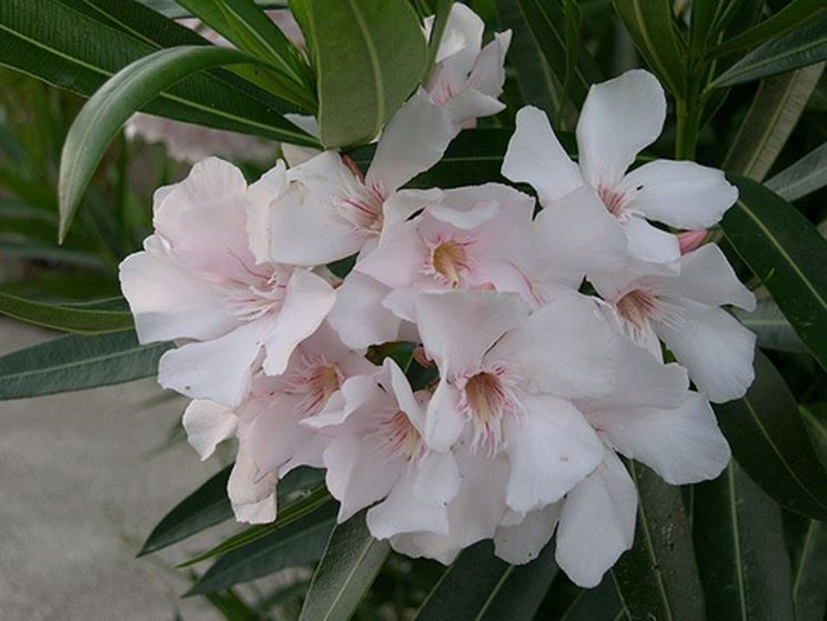 Fiori bianchi di oleandro
