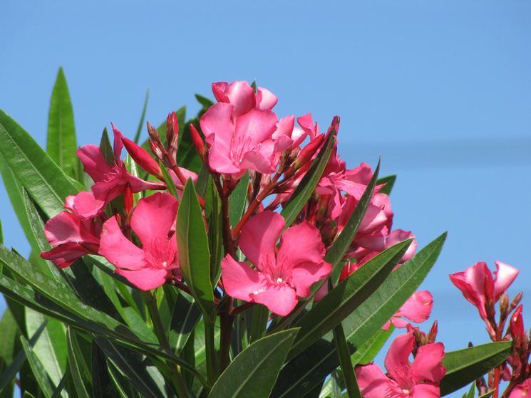 Oleandro Nerium Oleander