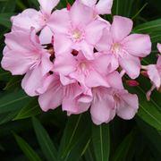 Oleandro piante da giardino for Oleandro riproduzione