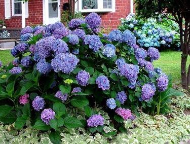 Una bellissima ortensia dai fiori blu