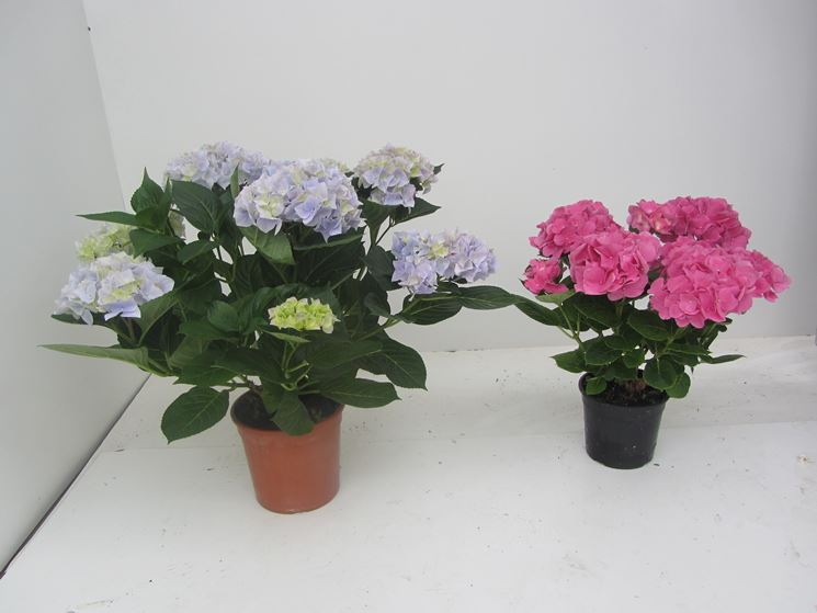 Giovani esemplari di ortensia in vaso