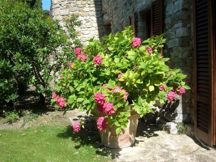 Potatura Ortensie In Vaso : Ortensie in vaso piante da giardino coltivare le