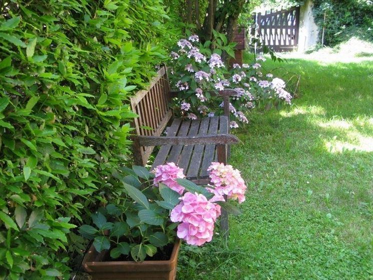 Ortensie in vaso adornano un giardino