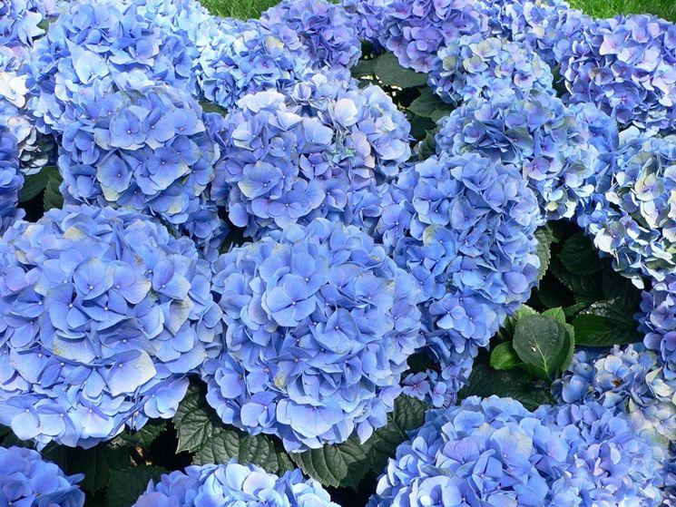 Le bellissime ortensie dai fiori blu