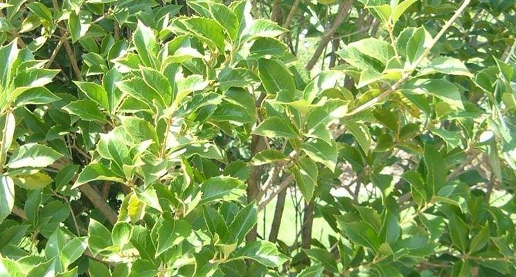 Il fogliame dell'Osmanthus Aquifolium