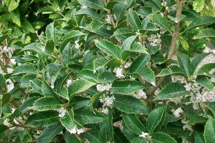 L'Osmanthus Aquifolium fiorito