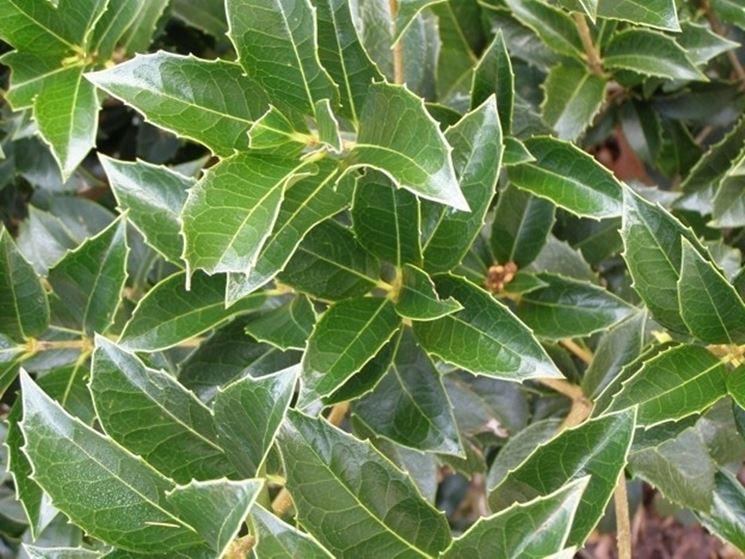 Il verde intenso dell'Osmanthus Aquifolium