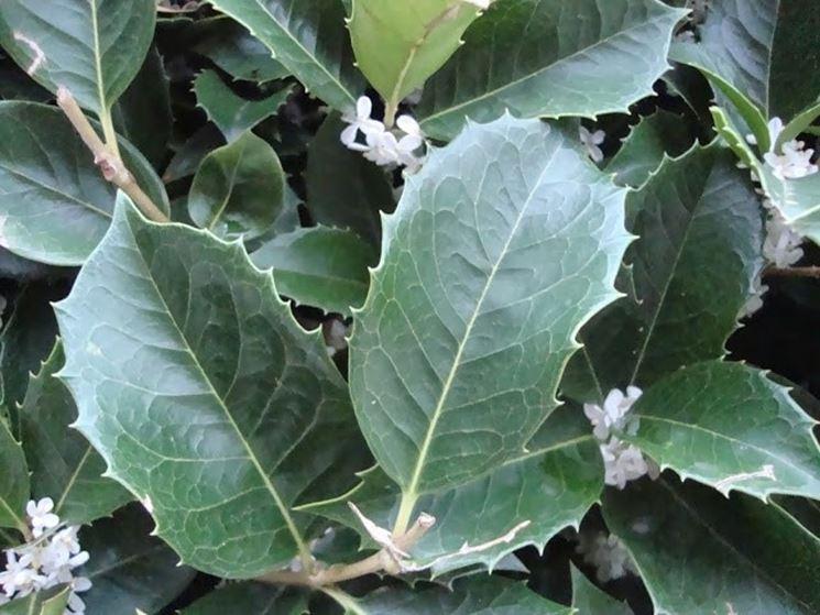 Foglie e fiori dell'Osmanthus Aquifolium