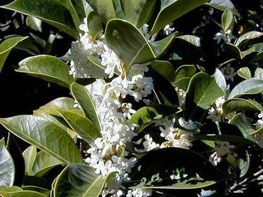 fiore caratteristico  dell'osmanthus armatus