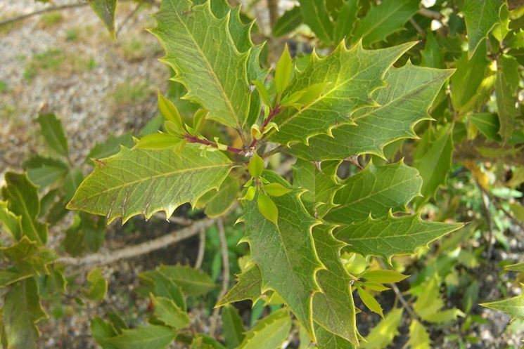 Osmanthus armatus piante da giardino caratteristiche - Osmanthus siepe ...